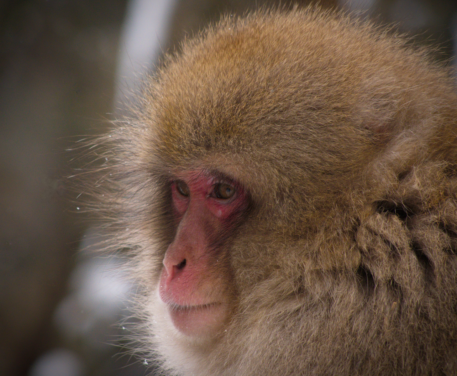 Snow Monkey - Gillian Chapple
